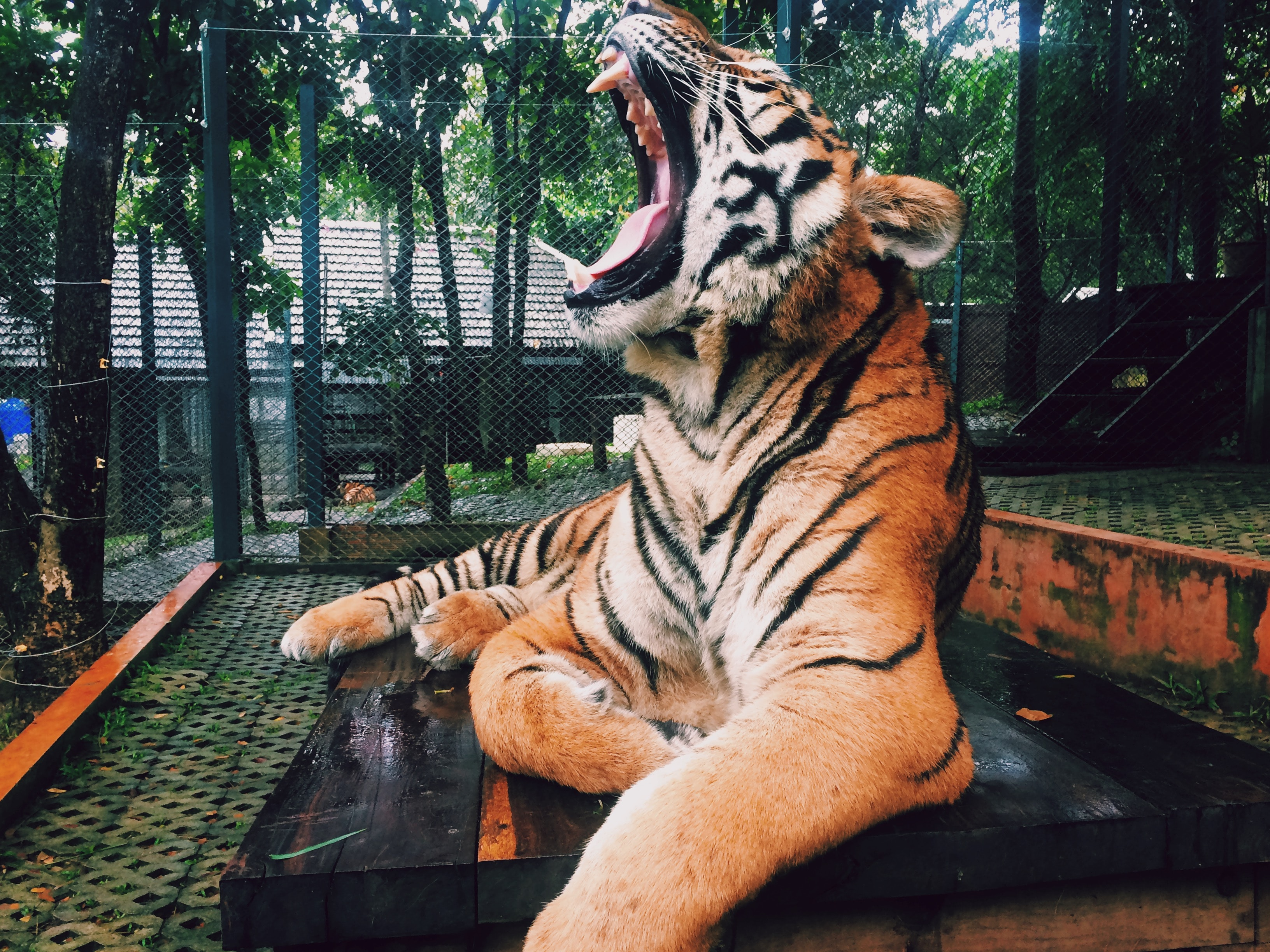 A roaring tiger at the zoo